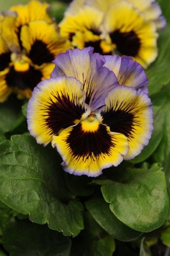 Pansy 'Frizzle Sizzle Yellow Blue' Viola