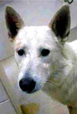 German Shepherd Dog dog for Adoption in Phoenix, AZ. ADN-564632 on PuppyFinder.com Gender: Male. Age: Young