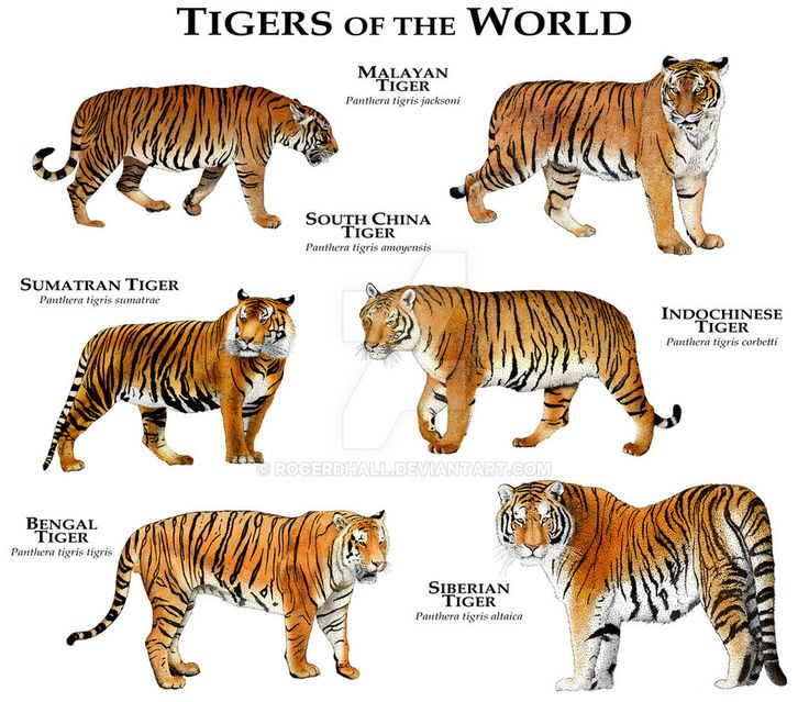 Tigers of the World by rogerdhall.deviantart.com on @DeviantArt