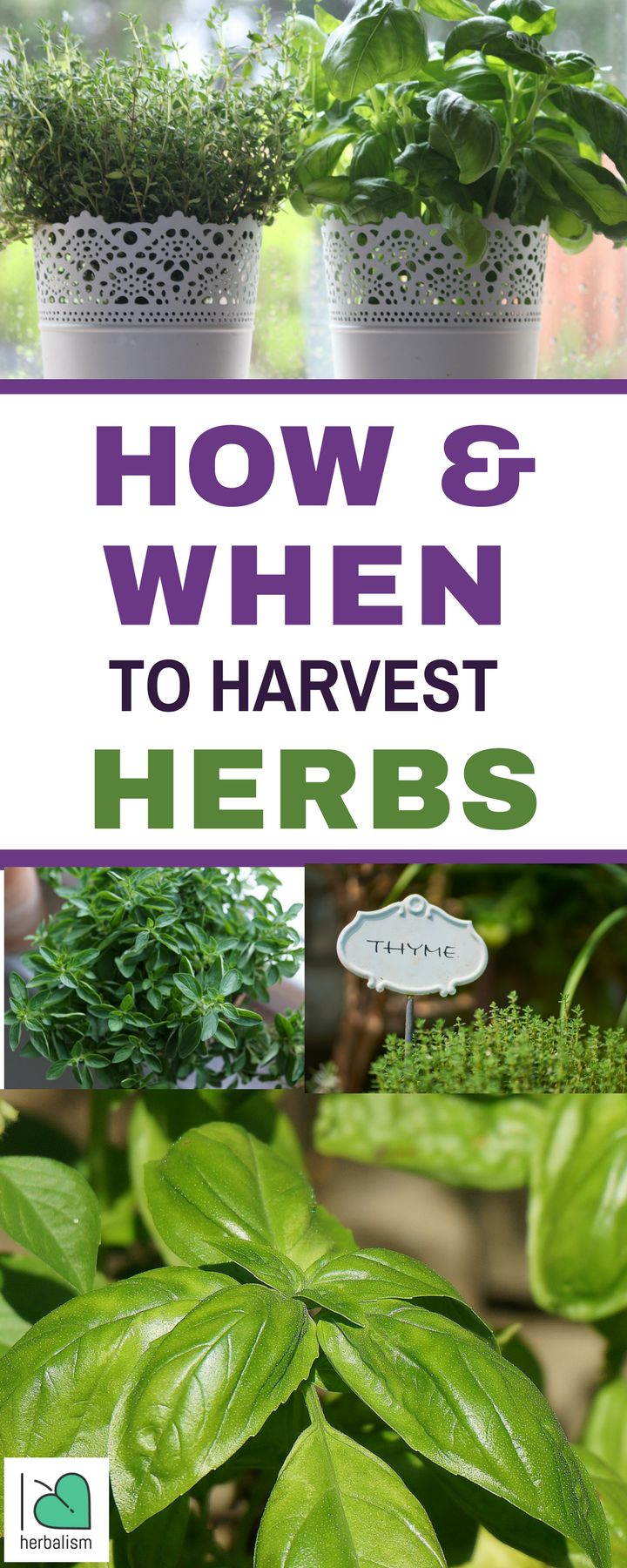 Growing your own herbs at home is a great way to enjoy fresh flavors all year long. But the weather is turning cooler and the days are getting shorter, and that means one thing: it's harvest time! There are a few things you should keep in mind when harvesting herbs, no matter what herb you're harvesting. Here's some practical advice   on how and when to harvest herbs.