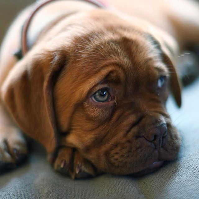 Americans became aware of the Dogue de Bordeaux when he appeared as drooling, messy Hooch in the 1989 Tom Hanks' film, Turner and Hooch.