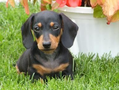 cute miniature dachshund puppy                                                                                                                                                      More