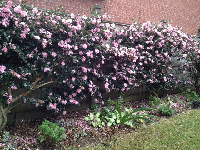 Sasanqua camellia gardening ideas pinterest for Evergreen climbing plants for privacy