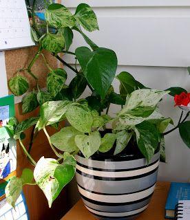 Φυτά εσωτερικού χώρου | Κηπολόγιο