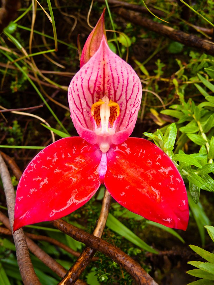 Disa uniflora - Growing on Table Mountain, South Africa