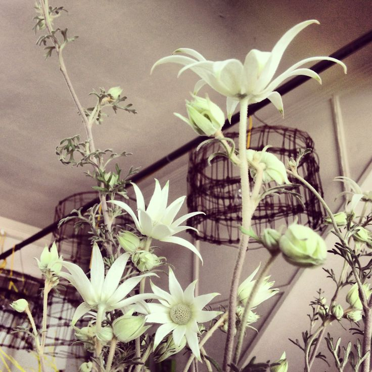 Stunning Flannel Flowers...Australian native