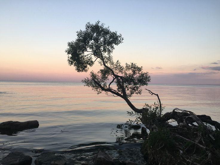 """Tree by the Lake"" Description: Coronation Park, Oakville, Ontario #MiltonON"