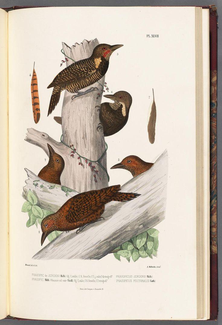 t.3 (1861) - Monographie des picidées, ou Histoire naturelle des picidés, picumninés, yuncinés ou torcols; - by A Malherbe | Missouri Botanical Gardens rare book collection via BHL