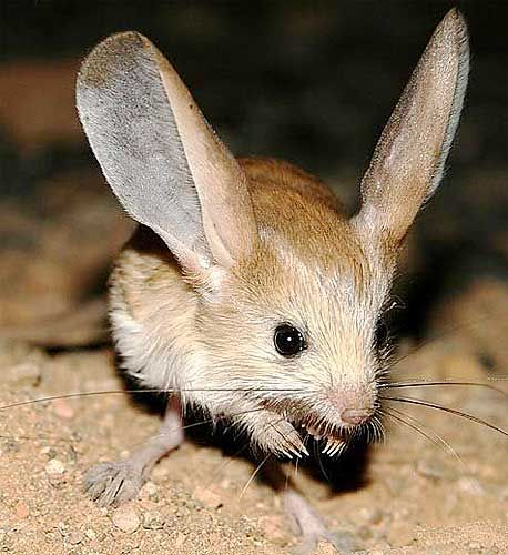 Long-eared jerboas are jumping mouse-like rodents with long hind legs and gigantic ears - one third larger than their head!  The are native to Mongolia.