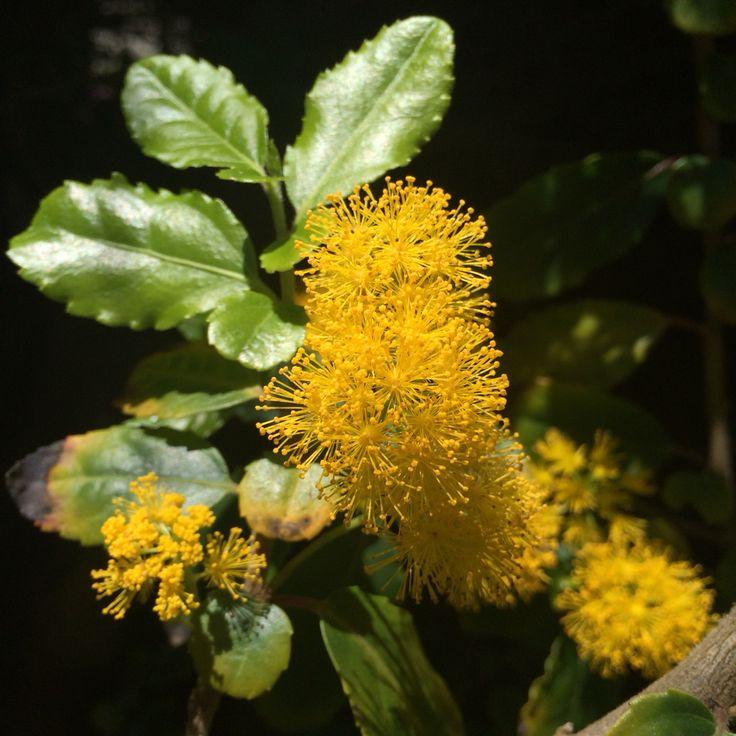 Corcolen en flor
