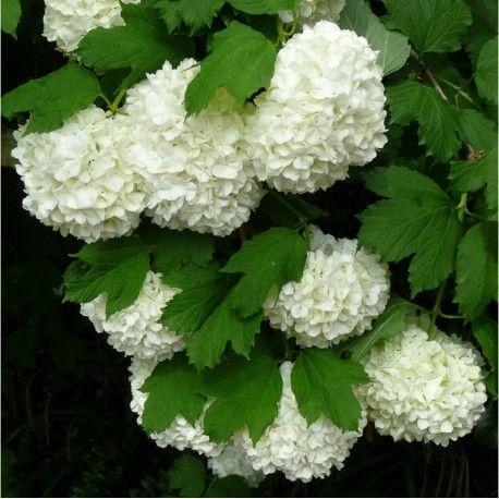 """89- VIBURNUM opulus ROSEUM (Viorne obier Boule de Neige,Rose de Gueldre) - Le printemps au Japon.- § JARDIN LE NÔTRE/ .. érables sycomores, sapins, épicéas, houx, chênes verts, pyracanthas, lauriers-tins, cyprès et buis en boule pour masquer les murs et, près des 6 grands portiques en treillage d'osier et châtaignier, sont cités: chèvrefeuille """"romain"""", lilas blanc et rouge, seringas, giroflées doubles et ROSIERS DE GUELDRE (VIORNES). -"""