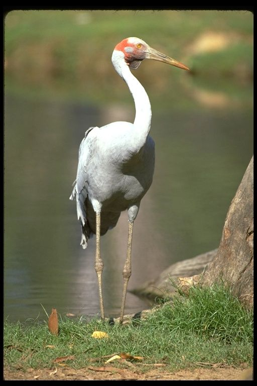 Grus rubicunda; Australian Crane