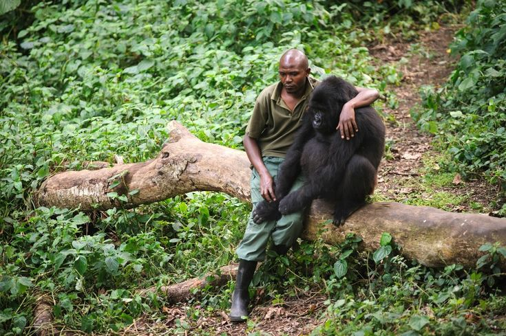 Man Comforts Gorilla Who Just Lost His Mom to poachers. When will poachers be shot on sight?