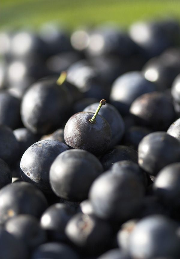 Fabulous sloe gin recipe top tip * sloe's should be picked after the first frost but can be picked late september, early august and pop in the freezer over night *