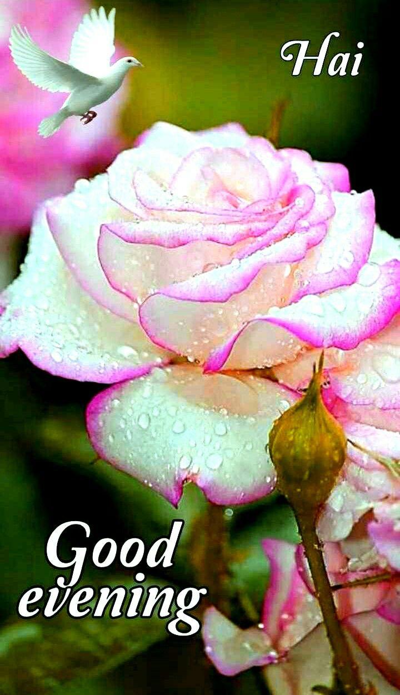 Good Evening Good Evening Wishes Good Evening Wallpaper