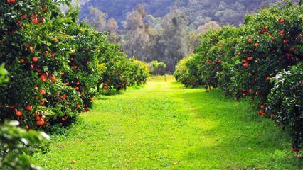 Watkins Family Farm – Pick Your Own Mandarins & Mushrooms