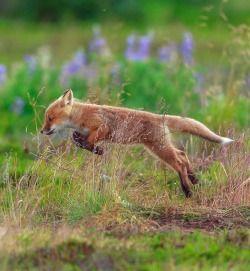 "beautiful-wildlife:  ""Flying Fox by © Robert Dreeszen  """
