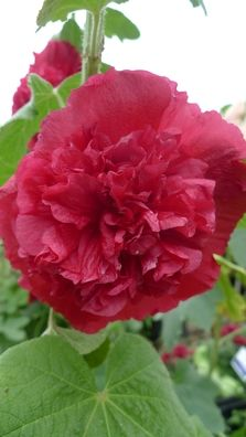 Alcea 'O'Hara'. Scarlet red double Hollyhock. Stunning up to 5/ high, sunny sites. Self supporting | From the Botanic Nursery
