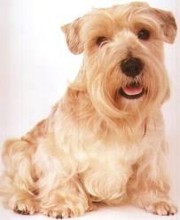 A Lucas terrier