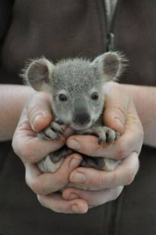 Koala babe :): Baby Koala, Babies, Koalas, Pet, Koala Bears, Baby Animals, Babykoala, Adorable Animal