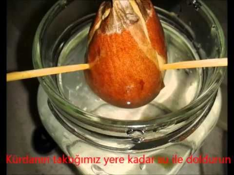 Avokado Tohumu Yetiştirme   Videolu Anlatım   Plant-Home