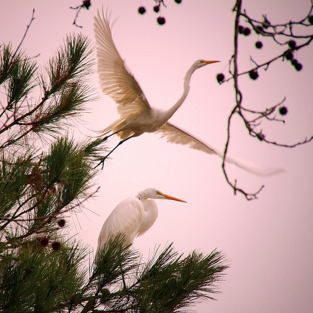 egrets: Animals, Nature, Daniela Duncan, Beautiful, Pink, Photo, Birds