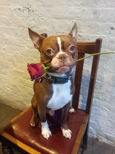 Red Boston Terrier with a rose in the mouth!