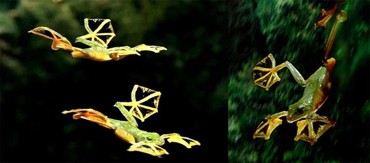 Rhacophorus Nigropalmatus, la grenouille volante