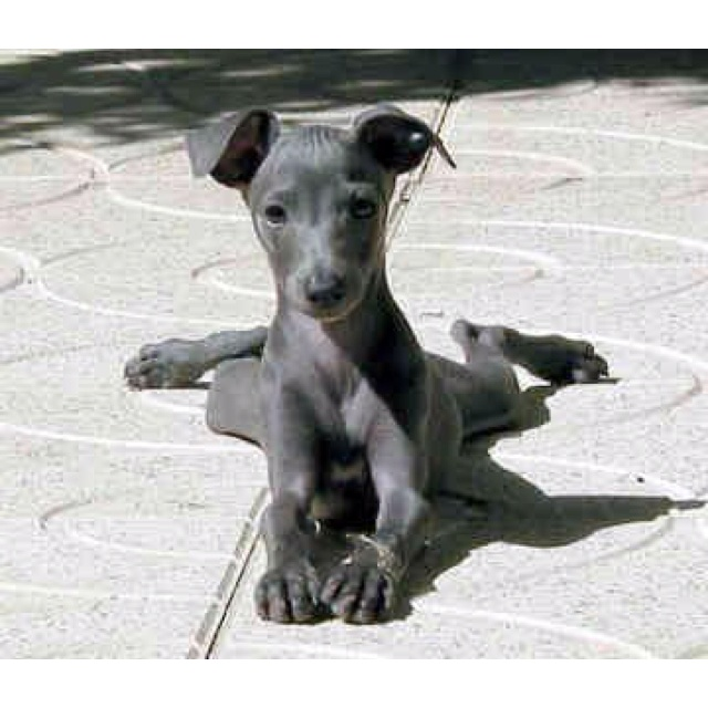 Miniature  Italian greyhound- How can you say no to this face!!!