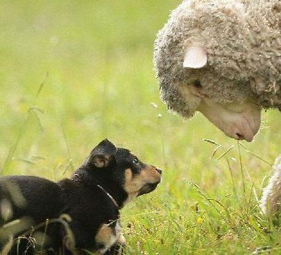 A Kelpie puppy and a sheep make friends on the farm.