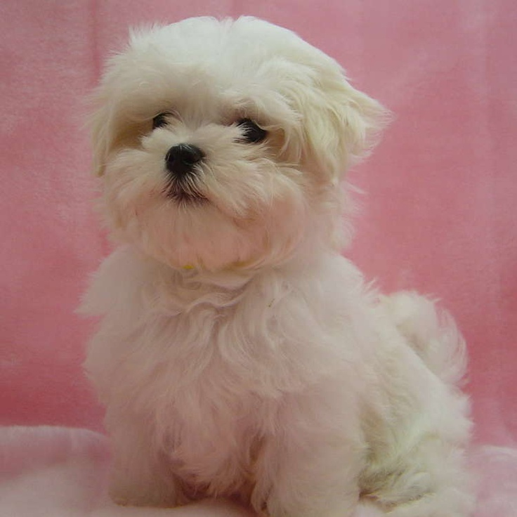 Image detail for -Maltese Dogs For Sale In Florida Florida Maltese Puppies for sale ...