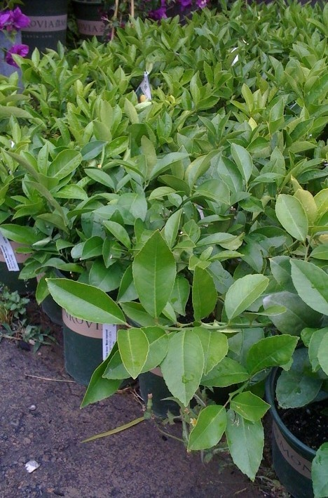 how to make citrus trees produce sweeter fruit
