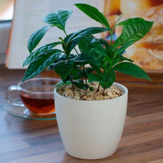 Выращиваем чай дома.  А вы знаете, что чай можно выращивать дома на подоконнике? Если за растением хорошо ухаживать, то чайные кусты у вас на подоконнике будут радовать вас круглый год своей зеленой шапочкой. Фото: © Dan Briant