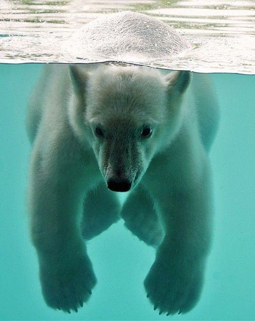 Floating polar bear