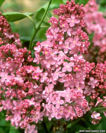 17 Best Images About Lilacs On Pinterest Old Fashion