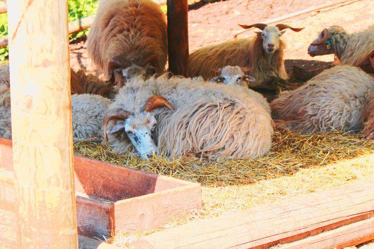 Ovce Valašská