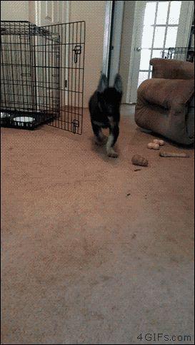 German-shepherd-floppy-puppy-ears :))))) #germanshepherdpuppy
