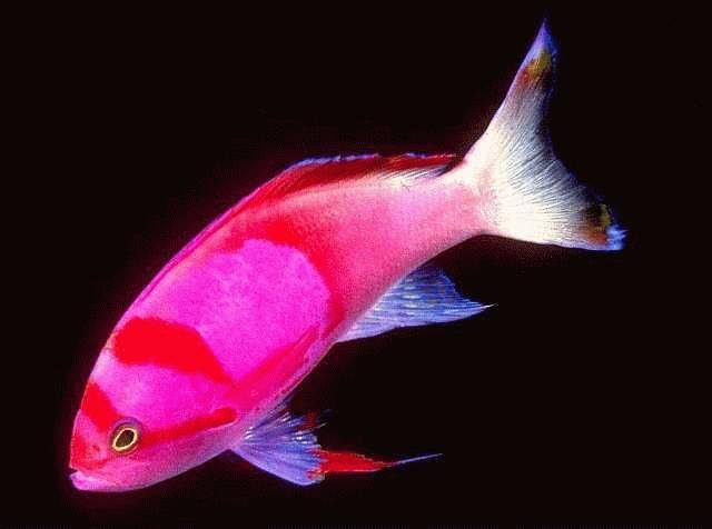 1000 ideas about pink fish on pinterest fish betta and for Pink fish tank