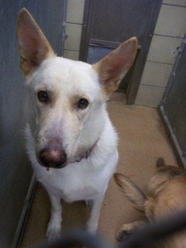 Death row dogs at Garland Animal Services - Three purebred German shepherds on death row in Texas animal control facility
