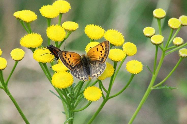 Vecka 38 - Vacker fjäril på höstblomster. Foto: Ann-Sofi Söderholm