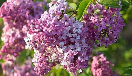 Lilac renovation