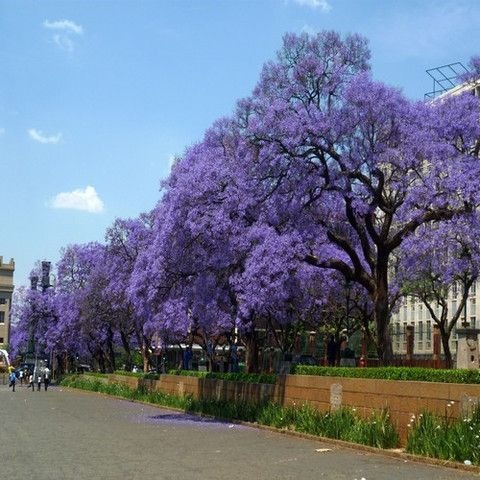 Blue Jacaranda Tree Seeds (Jacaranda mimosifolia) 50+Seeds - Under The Sun Seeds  - 1
