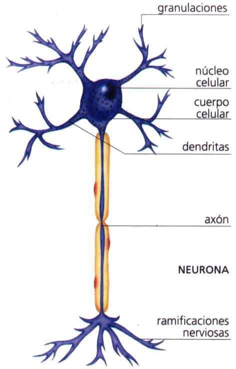 ¿Que es el Sistema Nervioso? Elsistema nerviosoes una red detejidosaltamente especializada, que tiene como componente principal a lasneuronas, células que se encuentran conectadas entre sí d...