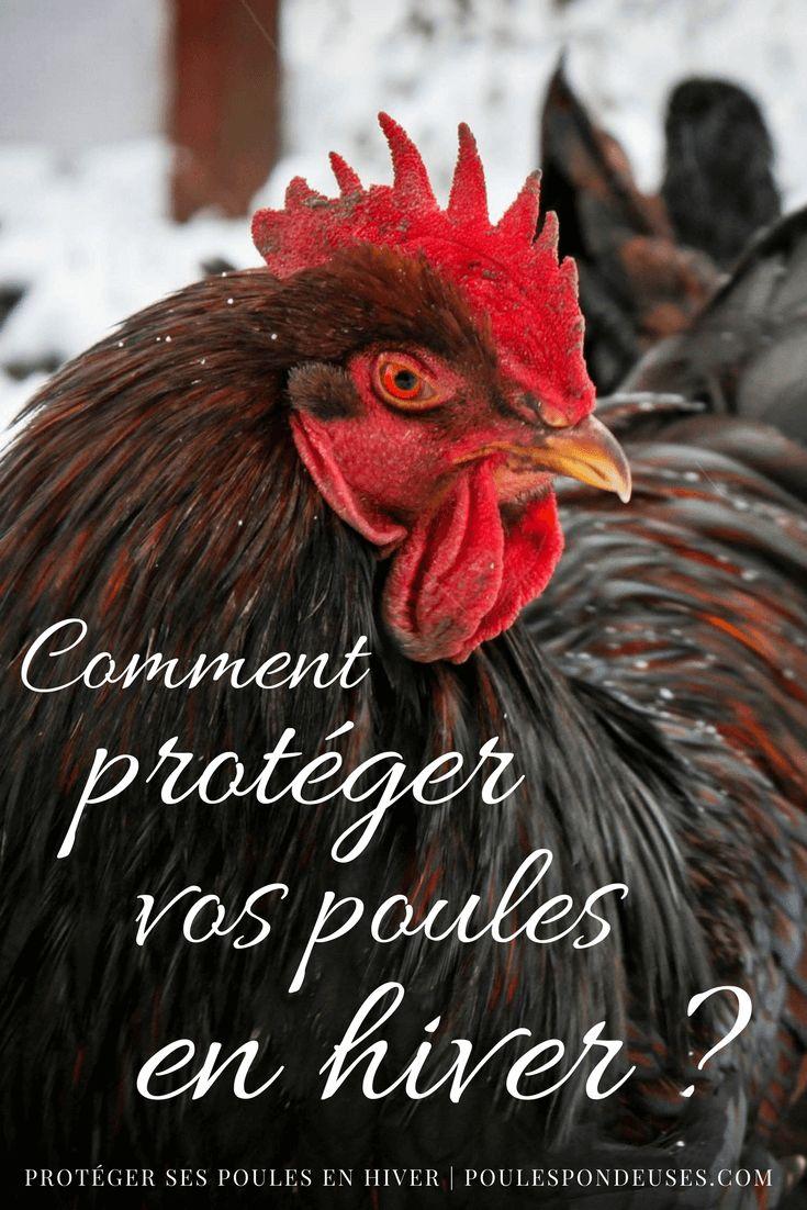 Certains éleveurs affirment que les poules rustiques ne craignent le froid qu'à partir de -20°C. Si les poules ne sont pas frileuses, quelque soit la saison, elles craignent en revanche beaucoup l'humidité et les intempéries. Si vous voulez qu'elles passent bien l'hiver, il est donc primordial de les loger dans un poulailler digne de ce nom (comment bien choisir sonpoulailler). La nourriture devra également être enrichie en vitamines et protéines… Protégez vos poules des courants d'air…