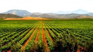 Fiestas de la Vendimia: Baja Norte's Yearly Celebration of the Grape