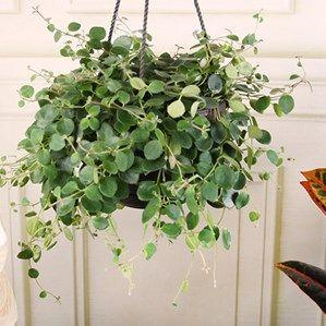 17 best images about plants on pinterest sansevieria trifasciata aloe and vines - House plants vines ...