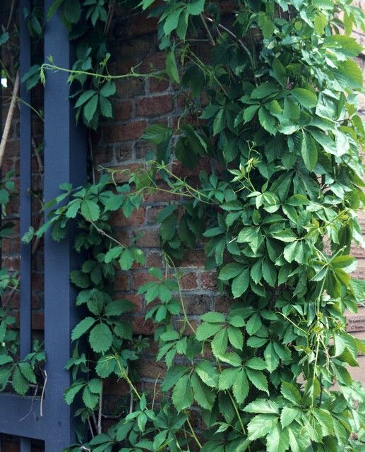 17 best images about ivy and other creeping vines on for Fast growing climbing plants for screening