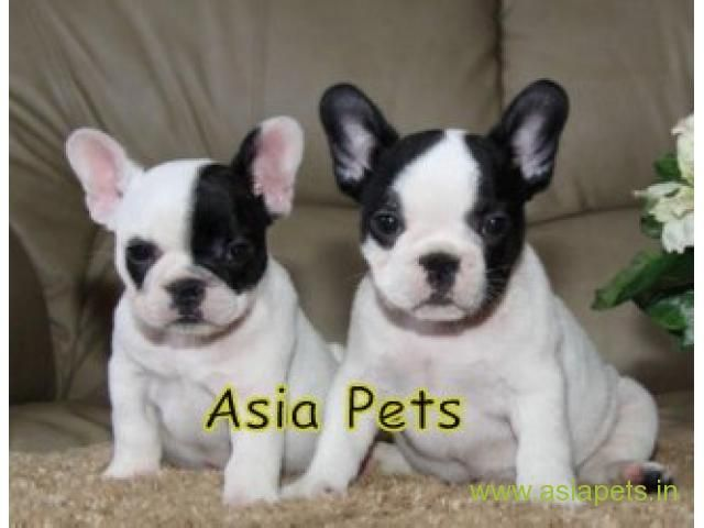 French Bulldog Puppies Price In Kolkata French Bulldog Puppies
