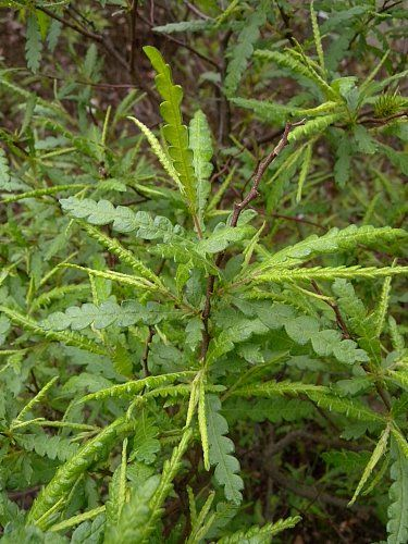 I love Sweet Fern tea - but don't drink too much! And don't bother looking for it in stores - you won't find it. Comptonia peregrina (Sweet fern)