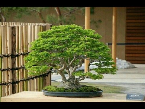 BEAUTIFUL    BONSAI  EXHIBITION ,   SHOW